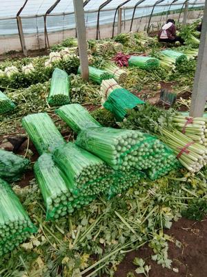山东省济南市济阳县法国皇后芹菜 55~60cm 0.5~1.0斤 大棚种植