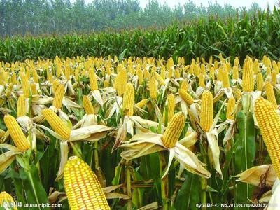 四川省凉山彝族自治州盐源县玉米干粮 毛货 水份17%-20%