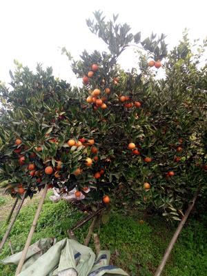 这是一张关于赣南血橙 60 - 65mm 4两以下 的产品图片