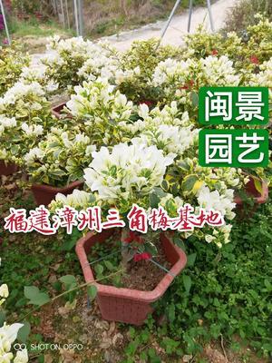 福建省漳州市漳浦县白色三角梅 0.5~1.0米