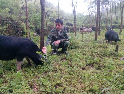 湖南省湘西土家族苗族自治州龙山县土杂猪 统货 60斤以上