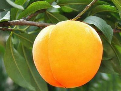这是一张关于黄桃树苗 1~1.5米 的产品图片