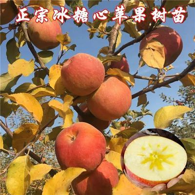 这是一张关于冰糖心苹果苗 1~1.5米 结果树的产品图片