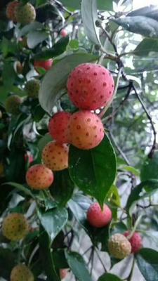这是一张关于石枣苗  四照花  野荔枝的产品图片