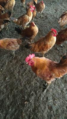 这是一张关于土鸡  3-4斤 统货 下蛋小母鸡的产品图片