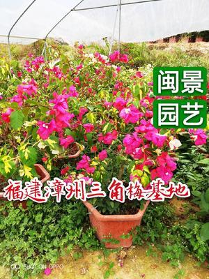 福建省漳州市龙海市金心双色三角梅 0.5~1.0米