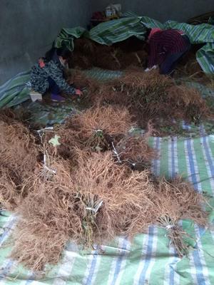 这是一张关于苍溪红心猕猴桃苗 实生苗 的产品图片