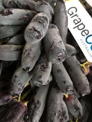 广东省广州市白云区澳洲金手指黑提  5%以下 1次果 味香四溢,皮脆多汁