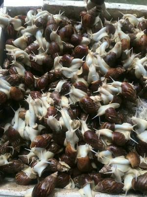 这是一张关于白玉蜗牛 的产品图片