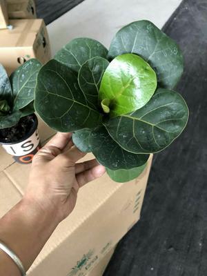 云南省昆明市呈贡区琴叶榕盆栽