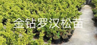 这是一张关于台湾金鉆罗汉松 的产品图片