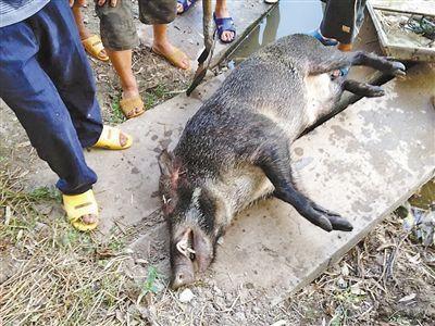 江西省宜春市上高县生态野猪 统货 60斤以上