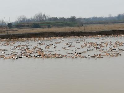 安徽省池州市贵池区肉鸭 3-4斤 统货 半圈养半散养