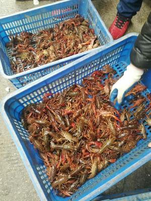 湖北省湖北省潜江市冻虾