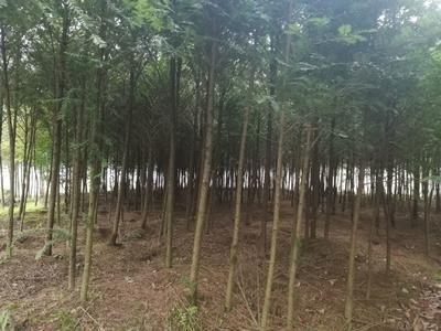 湖北省恩施土家族苗族自治州利川市曼地亚红豆杉 2.5~3米