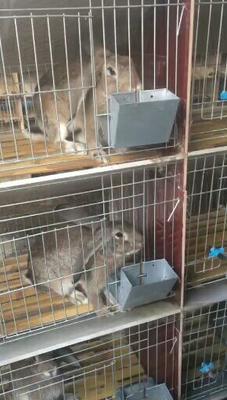 这是一张关于杂交野兔 5斤以上 的产品图片