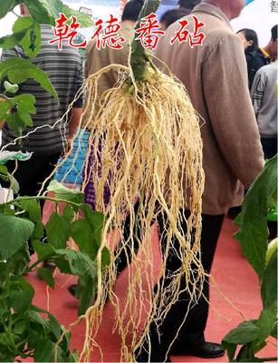 这是一张关于樱桃砧木  番茄专用嫁接砧木的产品图片