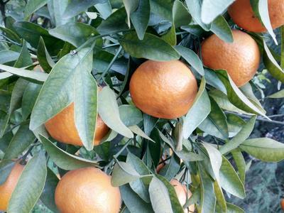 这是一张关于晚芦椪柑 6 - 6.5cm 3两以上 的产品图片