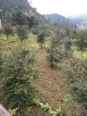 贵州省遵义市汇川区南方红豆杉 1~1.5米