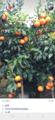这是一张关于沃柑 统货 3两以上 的产品图片