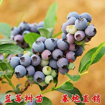 山东省临沂市平邑县夏普蓝蓝莓苗