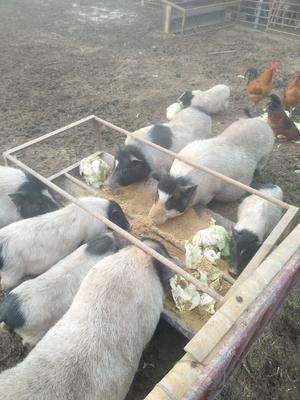 江苏省徐州市丰县巴马香猪 20-40斤