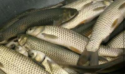这是一张关于白鲢鱼苗 的产品图片