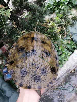 这是一张关于外塘甲鱼 的产品图片