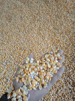 河南省安阳市滑县玉米干粮 毛货 水份14%-16%
