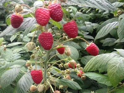 这是一张关于秋萍大果树莓苗 的产品图片