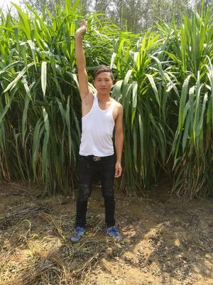 上海松江区巨菌草种苗
