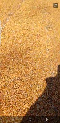 黑龙江省鸡西市虎林市玉米干粮 净货 水份14%-16%