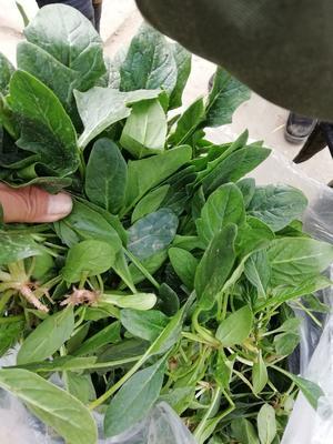 河南省安阳市滑县黑叶菠菜  10cm以下 散叫型袋装