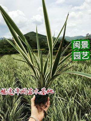 这是一张关于山菅兰  福建漳州的产品图片