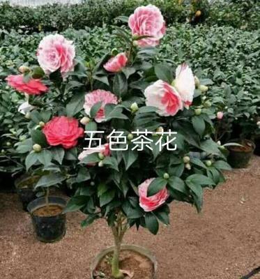 云南省昆明市呈贡区十八学士 20~30cm
