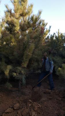 这是一张关于旱地油松 的产品图片