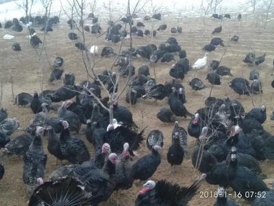 山东省临沂市罗庄区青铜火鸡 20-30斤