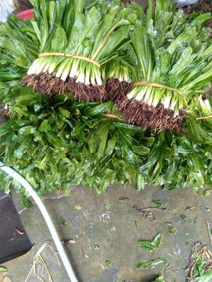 这是一张关于大叶香菜 30~35cm 的产品图片