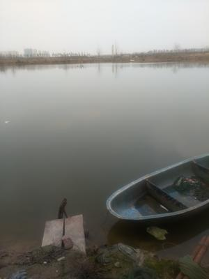 湖北省孝感市孝南区武昌鱼 人工养殖 0.5公斤以下