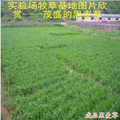 这是一张关于冬牧草种子 的产品图片