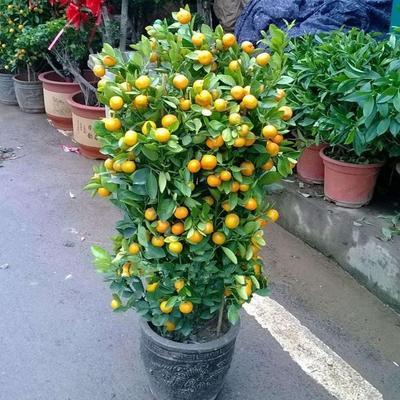 这是一张关于小金橘盆栽 的产品图片