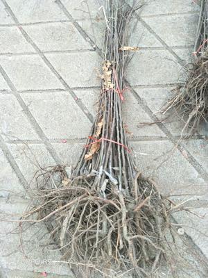 山东省临沂市平邑县毛板红板栗苗 实生苗 1~1.5米