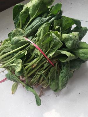 山东省聊城市冠县越冬菠菜 15~20cm