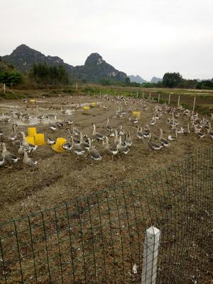 广西壮族自治区崇左市扶绥县狮头鹅 10-12斤 统货 半圈养半散养