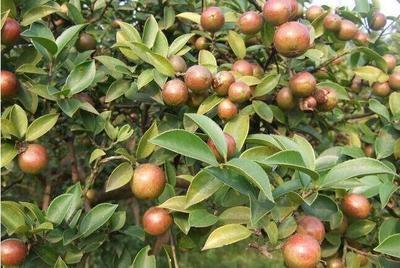 广西壮族自治区南宁市江南区现榨山茶油