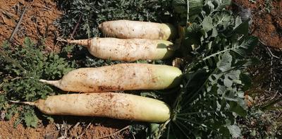 贵州省黔西南布依族苗族自治州兴义市韩国白萝卜 1~1.5斤