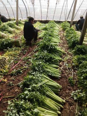 天津静海县法国皇后芹菜 40cm以下 0.5~1.0斤 大棚种植