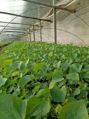 这是一张关于羊角脆甜瓜苗 的产品图片