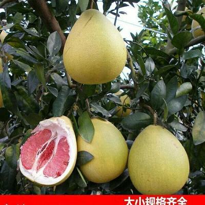 这是一张关于红心柚苗 的产品图片