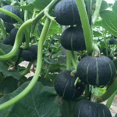 贝贝南瓜种子 85%
